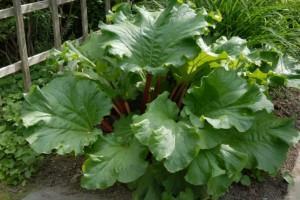 Rhubarb-
