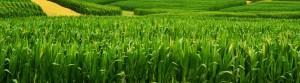 corn-field-c-keeva999-flickr-creative-commons