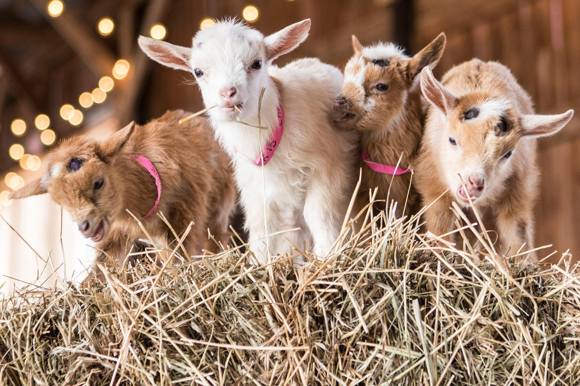 Stories in the Park at Mercer: Storytime with a Goat | Iowa City