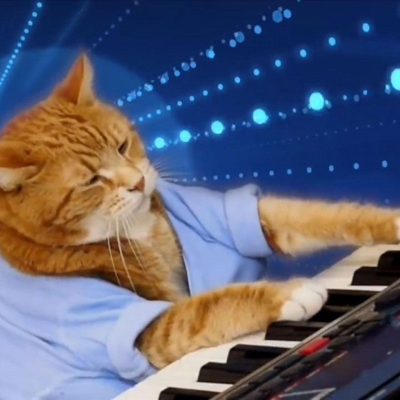 orange cat in blue t-shirt plays the keyboard