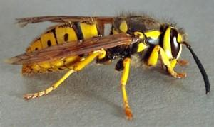 yellowjacket1